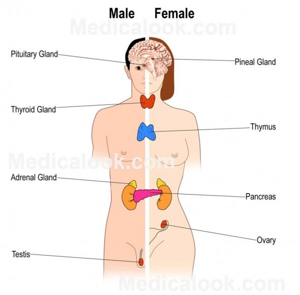 Human Endocrine System Diagram Human Endocrine System Diagram