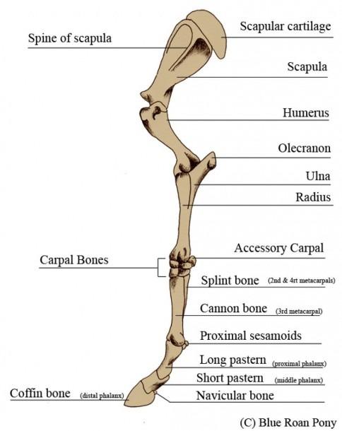 Human Leg Bones Diagram And New Leg Anatomy Bones