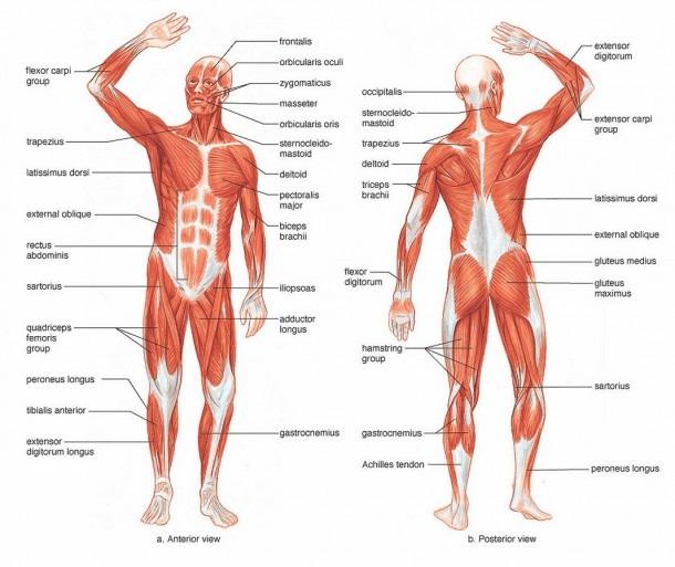 Human Leg Muscle Diagram And Human Leg Muscles Diagram Human Thigh