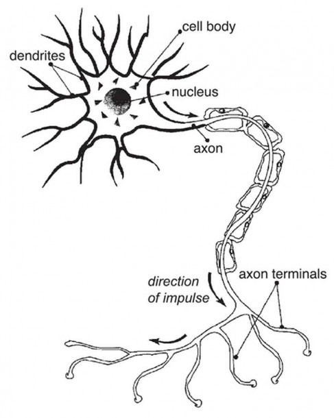 Human Nerve Cell Diagram Diagram Of The Nerve Cell Nerve Cell