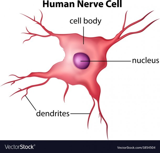 Human Nerve Cell Royalty Free Vector Image
