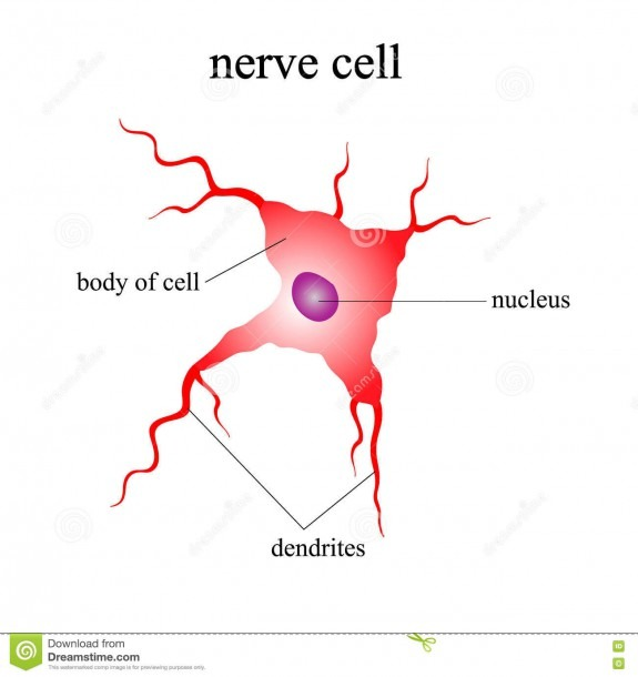 Illustration Of The Human Nerve Cell On A White Background Stock