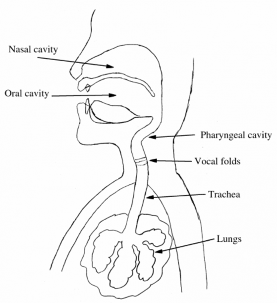1  Illustration Of Speech Organs