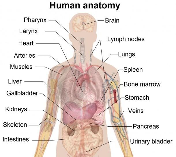 Kidney In Body Diagram Kidney Location Human Body Diagram