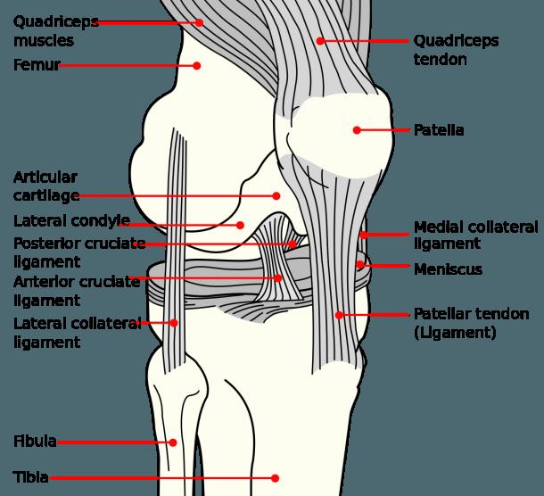 File Knee Diagram Png