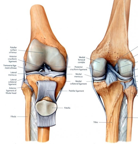 Knee Ligament Diagrams
