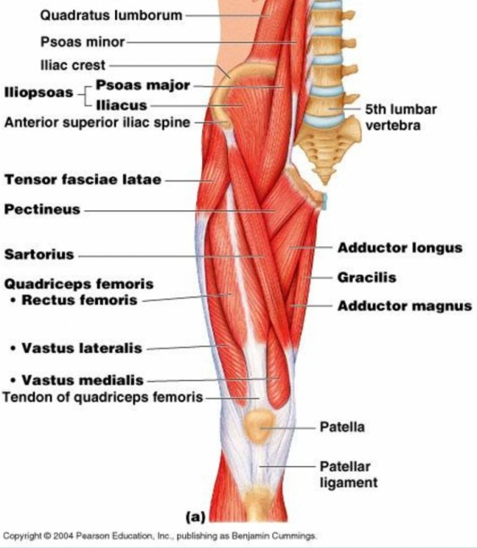 Knee Muscle Diagram Right Knee Muscle Diagram Gallery Muscles