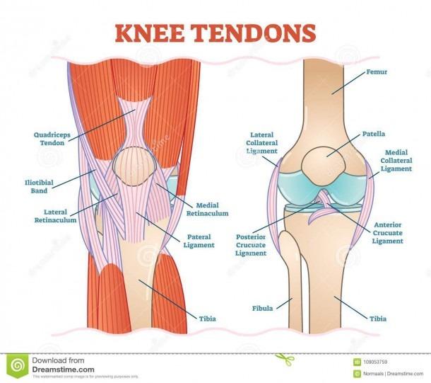Knee Tendons Medical Vector Illustration Scheme, Anatomical