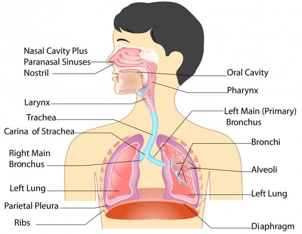 Label Parts Of The Respiratory System And Human Body Diagram