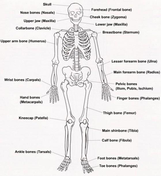 Label The Skeletal System Diagram Of The Skeletal System With