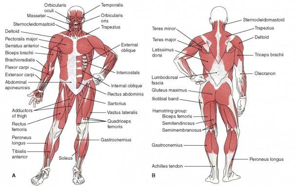 Body Diagram Labeled In Spanish