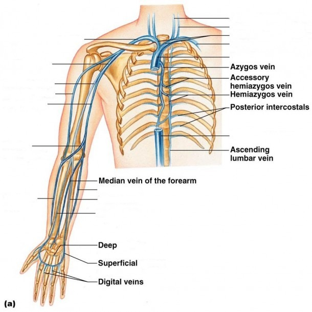 Veins Of The Arm Diagram