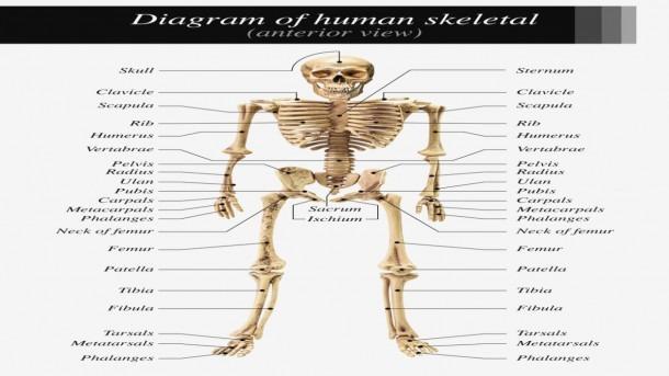 Labeled Skeletal System Diagram – Skeletal System Labeled – Label