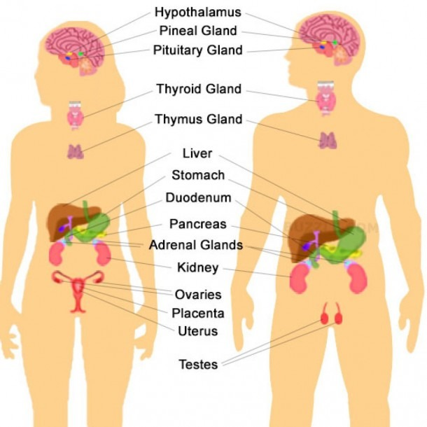 Labelled Endocrine System Human Endocrine System Diagram Labeled