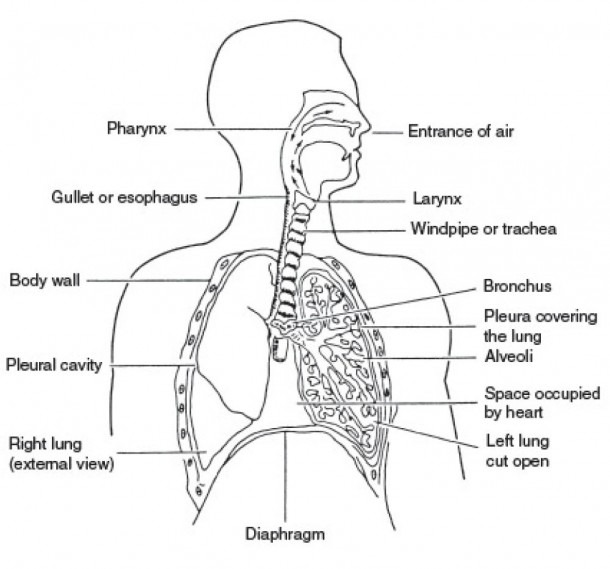 Labelled Respiratory System And Human Body Diagram Labeled In