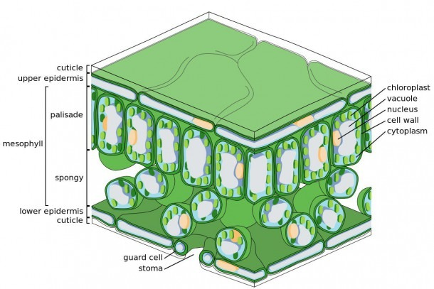 Anatomy Of A Leaf, Use These Leaf Parts To Identify A Tree