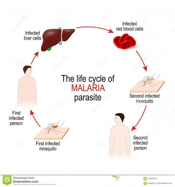 Life Cycle Of A Malaria Parasite Stock Vector