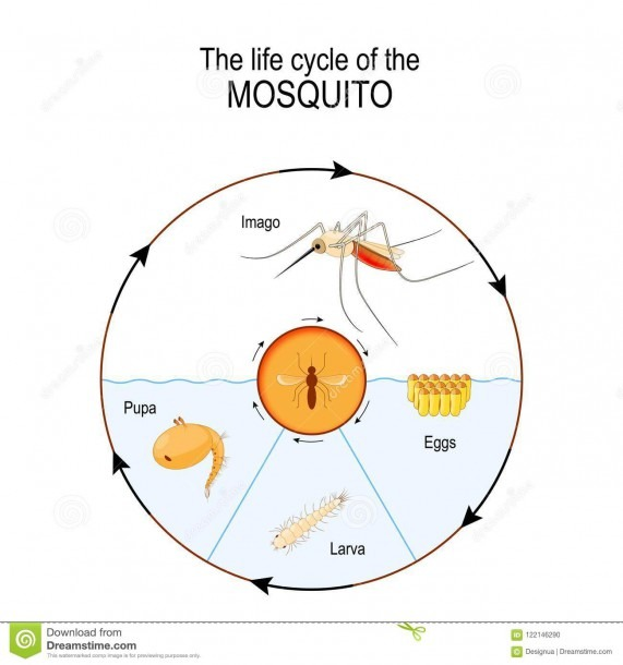 Life Cycle Of The Mosquito  Imago, Eggs, Pupa, Larva  Stock Vector