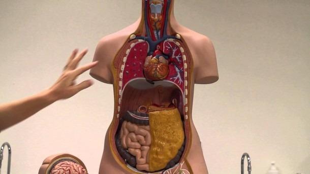 Basic Torso Organs Video