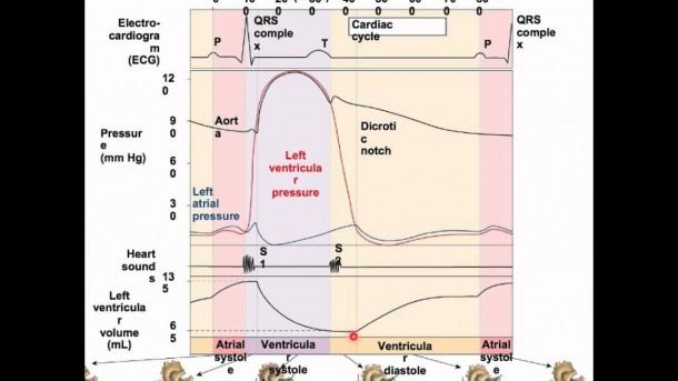Wiggers Diagram Mp4