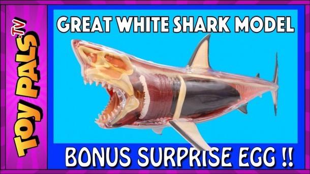 Great White Shark Anatomy Model Video For Kids + Surprise Egg