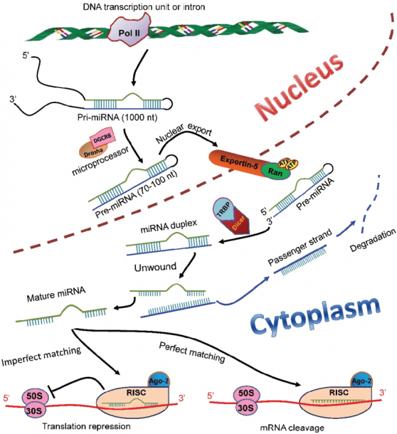 Mirna Biosynthesis And Functions In Mammalian Cells  In The