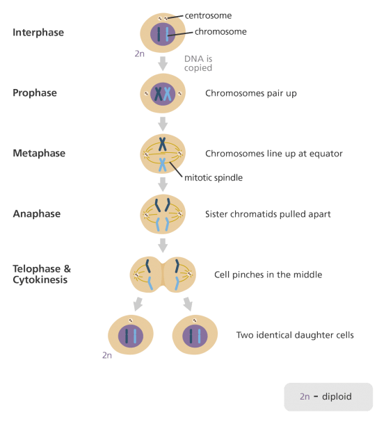What Is Mitosis