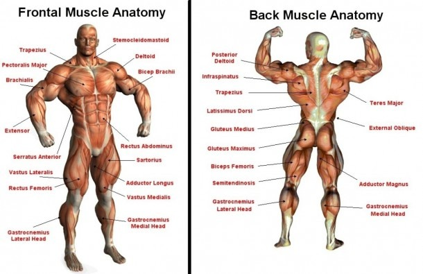 Muscle List Human Body And Diagram Of Skeletal Muscles Leg Muscles