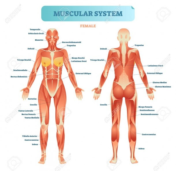 Muscles Of The Body Diagram And Female Muscular System, Full