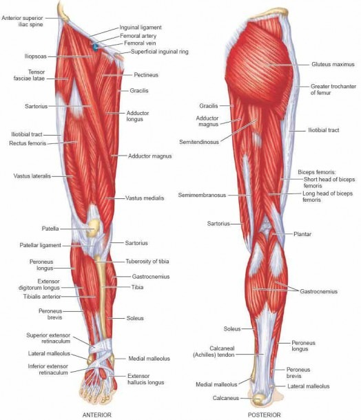 Muscular Anatomy Of The Leg Leg Muscle Names Diagram Leg Muscles