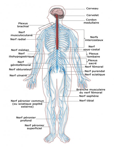 Nervous System Diagram French
