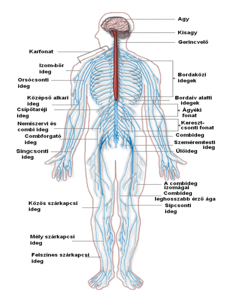 Nervous System Diagram Hungary