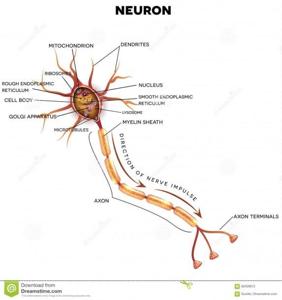 Neuron, Nerve Cell Anatomy Stock Vector  Illustration Of Diagram