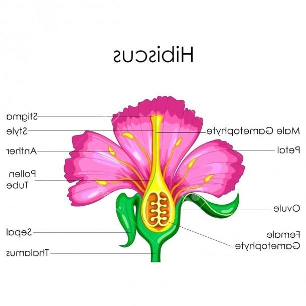 Hibiscus Flower Parts Diagram