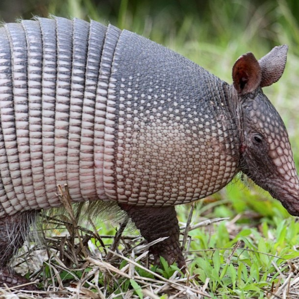 How To Get Rid Of Armadillos