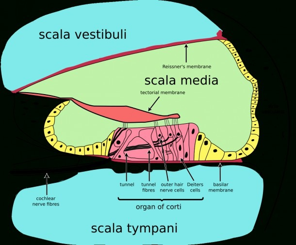 Picture The Anatomy Of The Speech Organ