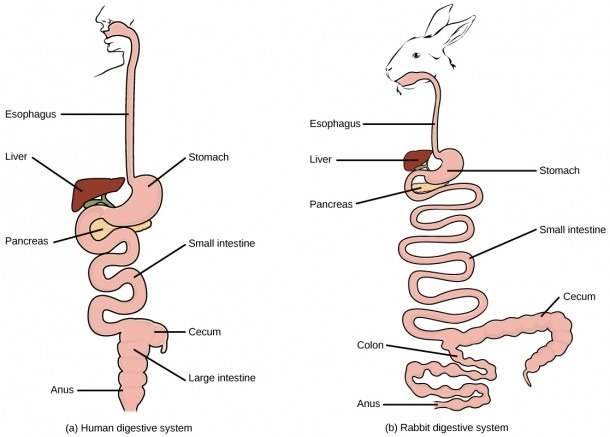 Pig Digestive System Compared To Human Pig Digestive System Pig
