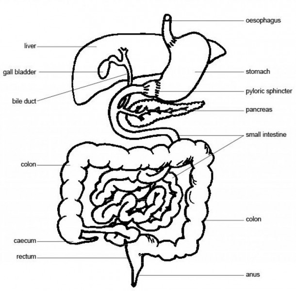Pig Digestive System Diagram