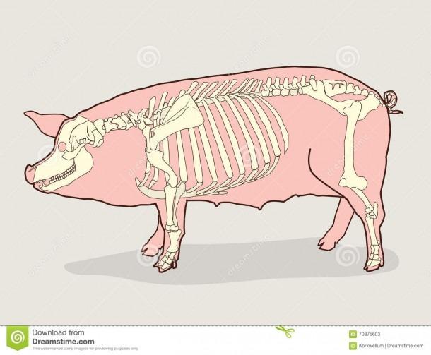 Pig Body Diagram