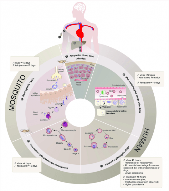 Plasmodium Vivax And Plasmodium Falciparum Life Cycle Comparison