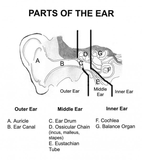 Pictures Of Parts Of The Ear And Their Functions