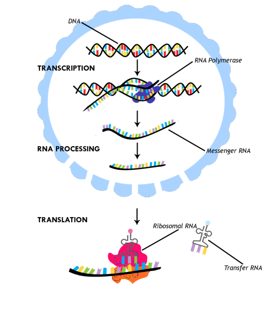 Diagram Of Protein Synthesis – Ready To Learn Biology  Here We Go!