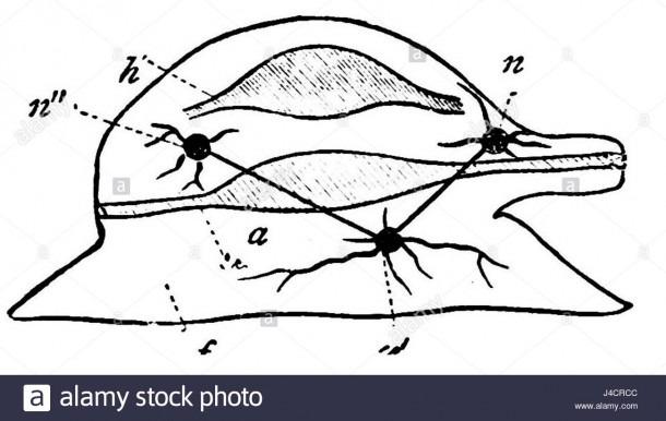 Psm V19 D483 Diagram Of Mollusk Stock Photo  140423372