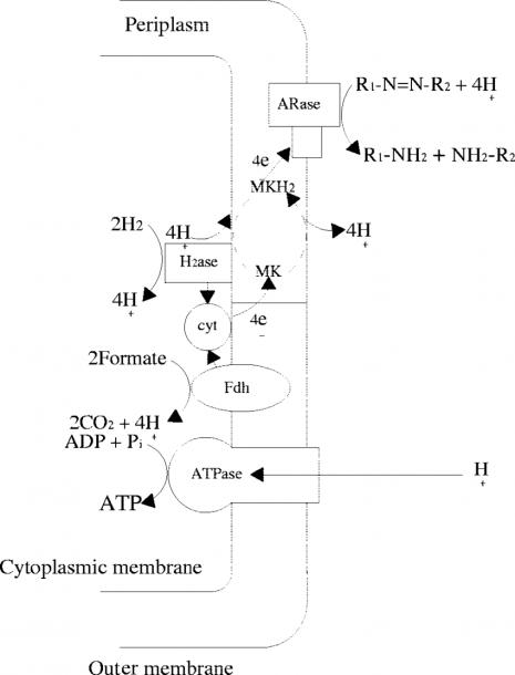 Putative Chemiosmotic Model Of The Azorespiration Electron
