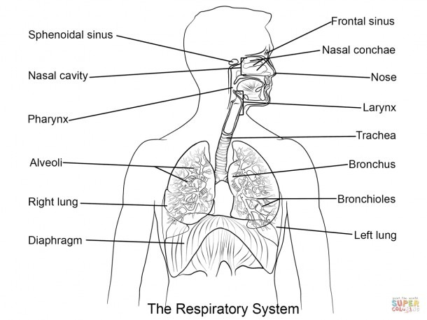Respiratory System Diagram Labeled And Photos  Human Respiratory