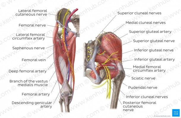 Diagram   Pictures  Neurovasculature Of The Hip And The Thigh
