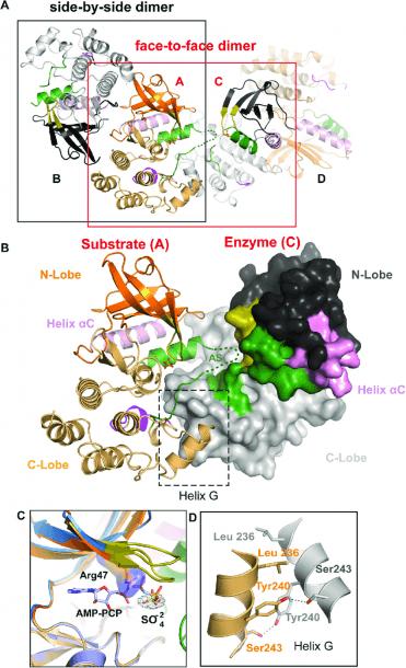 Rip2k K47r Asymmetric Enzyme