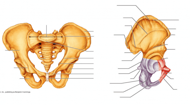 Appendicular Skeleton   Pelvic Girdle (coxal)
