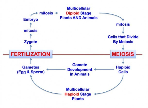 Human Reproduction Cycle Diagram