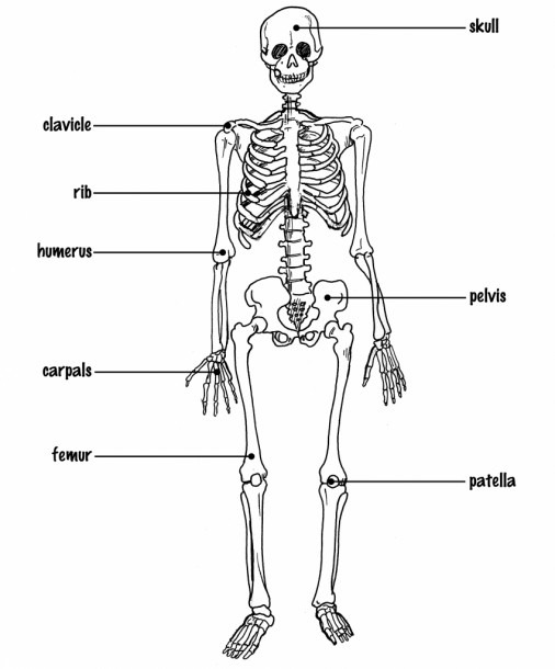 Skeletal System Pictures With Labels Skeletal System Diagram With